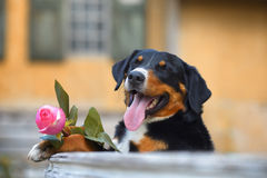 Le chien tricolore de Sennenhund Appenzeller avec s'est levé dans la bouche Images stock