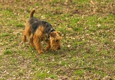 Le chien va sur la traînée Photos libres de droits