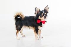 Le chien velu de chiwawa porte le noeud papillon rouge Images libres de droits