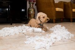 Le chien vilain a détruit le petit pain de tissu dans des morceaux quand seul à la maison photos libres de droits