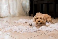Le chien vilain a détruit le petit pain de tissu dans des morceaux quand seul à la maison photographie stock libre de droits