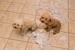 Le chien vilain a détruit le petit pain de tissu dans des morceaux quand seul à la maison photographie stock