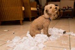 Le chien vilain a détruit le petit pain de tissu dans des morceaux quand seul à la maison image libre de droits