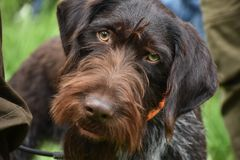 Le chien wirehaired allemand d'indicateur regarde dans l'appareil-photo photo stock