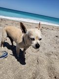 Le chienchien aime le sable du DA image stock