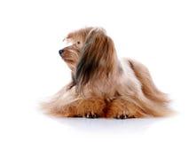 Le chienchien décoratif. Image stock