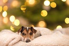 Le chienchien doux de Jack Russell Terrier se trouve sur un oreiller devant le fond de blurres photos stock