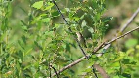 Le chiffchaff commun /Phylloscopus collybita/est sur une branche parmi les feuilles vertes banque de vidéos
