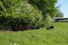 Le chillin de la vache au soleil Photos libres de droits