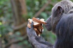 Le chimpanzé mange du pain Images stock