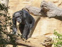 Le chimpanzé se bouge librement les arbres Photographie stock