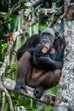 Le chimpanzé (troglodytes de casserole) avec un petit animal sur le palétuvier s'embranche Photographie stock libre de droits