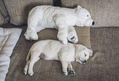 Le chiot blanc de Labrador caresse avec le jouet de l'ours blanc Photos libres de droits