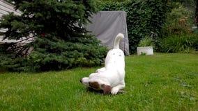 Le chiot blanc joue dehors banque de vidéos