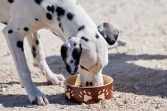 Le chiot dalmatien mange de la nourriture sèche d'une cuvette images stock