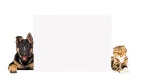 Le chiot de berger allemand et les écossais de chat plient le mensonge, jetant un coup d'oeil par derrière la bannière Image libre de droits