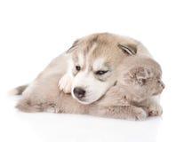 Le chiot de chien de traîneau sibérien de sommeil étreint le chat écossais D'isolement sur le blanc Photo libre de droits