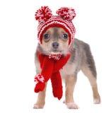 Le chiot de chiwawa a rectifié dans le chapeau et l'écharpe drôles Images stock