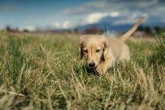 Le chiot de Dachshund marche dans la longue herbe Photo libre de droits