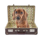 Le chiot de Dachshund se repose dans une valise de cru Image stock