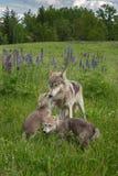 Le chiot de lupus de Grey Wolf Canis salue la bête d'un an photo stock