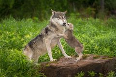 Le chiot de lupus de Grey Wolf Canis saute sur l'adulte images libres de droits