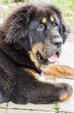 Le chiot de mastiff tibétain Photographie stock libre de droits