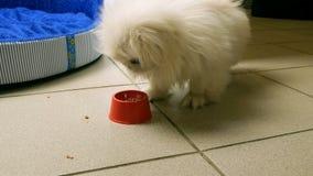 Le chiot de pékinois mange de l'alimentation ou de la viande de sa cuvette banque de vidéos
