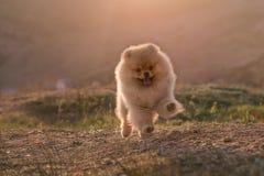 Le chiot de Pomeranian a fonctionné Image stock