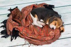 Le chiot de sommeil Images libres de droits
