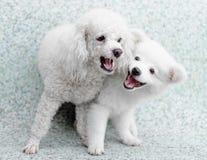 Le chiot de Spitz et le chien de caniche japonais jouent ensemble Image libre de droits
