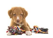 Le chiot de tintement de chien d'arrêt de canard mignon de la Nouvelle-Écosse se trouvant sur le plancher tenant un multicolore a Images libres de droits