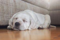 Le chiot doux de chien de Labrador rêve tout en dormant photos stock