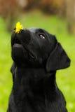 Le chiot drôle de Labrador de noir de chien se tient sur le flowe de pissenlit de nez Photographie stock libre de droits