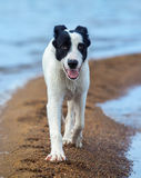 Le chiot du chien de garde marche le long de la broche de sable sur le bord de la mer Photos stock