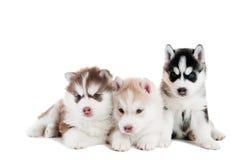 Le chiot du chien de traîneau trois sibérien a isolé Photo stock