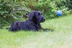 Le chiot du chien noir de Schnauzer observe une boule de vol Photographie stock