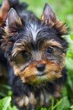 Le chiot du chien terrier de Yorkshire Photographie stock