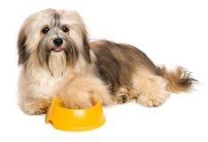 Le chiot heureux de Havanese demande des aliments pour chiens Photos libres de droits