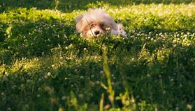 Le chiot maltais se cache sur l'herbe derrière des fleurs photo stock