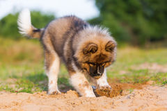Le chiot mignon d'elo creuse dans un puits de sable photographie stock libre de droits