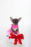 Le chiot mignon de chiwawa porte la robe rose Image libre de droits