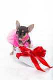 Le chiot mignon de chiwawa porte la robe rose de mode Images stock