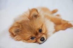 Le chiot mignon de Pomeranian se trouve sur les backgroundlies blancs Image libre de droits