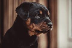 Le chiot mignon de rottweiler a surmonté avec le grand intérêt sur le bout photo stock