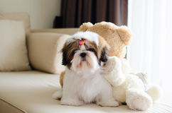 Le chiot mignon de tzu de shih se repose Photo stock