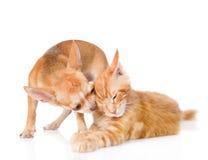 Le chiot mord l'oreille du ` s de chat D'isolement sur le fond blanc Images stock
