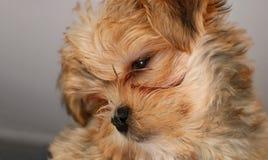 Le chiot le plus mignon de Yorkshire Terrier avec la tête a incliné regarder la caméra images stock