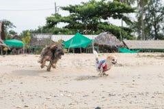 Le chiot pomeranian jouent avec des amis sur la plage Photographie stock