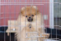 Le chiot pomeranian mignon se tient dans une volière et un regard photo libre de droits